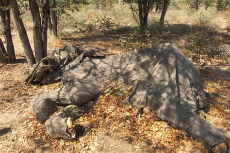 Droogte doodt Afrikaanse olifant - resource
