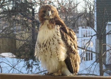 Feds seek to ground aggressive Ludlowe hawk - Connecticut Post
