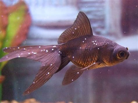 Ich - How to Treat the Most Common of All Aquarium Pests