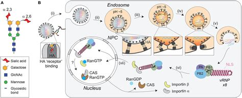 Frontiers   Influenza A Virus Cell Entry, Replication