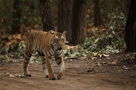 """Experience the Real Live """"Jungle Book"""" at Kanha National Park"""